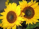 140806 sunflowers 001