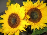 140806 sunflowers 001